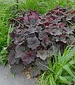 Heuchera, Palace Purple, 1or2g