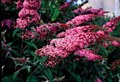 Buddleia, Pink Delight, 1 gal