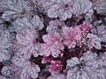 Heuchera, Plum Pudding, 1g