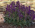 Penstemon, Purple Rdg Hood, 1g