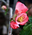 Quince, Red Flowering, 3 gal