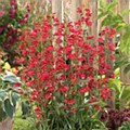 Penstemon, Red Ridng Hood, 1 g