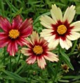 Coreopsis, Red Shift, 1 gal