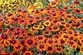 Rudbeckia, Autumn Colors, 1g