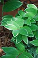 Solomons Seal, Variegated 1g