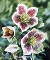 Helleborus, Spotted Lady W, 1g