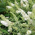 Buddleia, White Bouquet, 2 gal