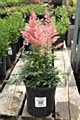 Astilbe, Country Western, 1 gl