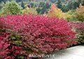 Burning Bush, Dwf, 3 gal