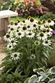 Coneflower, Avalanche, 1 gal