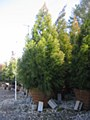 Cryptomeria, 12-14'