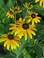 Rudbeckia, Goldstrum, 1 g