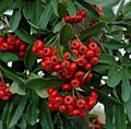 Pyracantha, Victory, 5 gal
