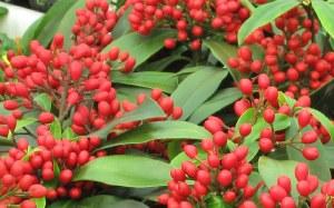 Skimmia j. subsp. Reevesiana