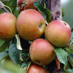 Apple 'Cox's Orange Pippin' Bare-rooted