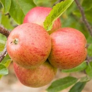 Apple 'Ellison's Orange' Bare-rooted