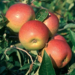 Apple 'Laxton Superb' Bare-rooted