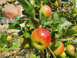 Apple 'Lord Lambourne' Bare-rooted
