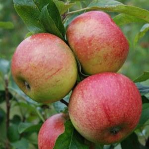 Apple 'Charles Ross' Bare-rooted