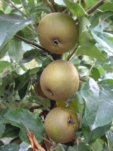 Apple 'Egremont Russet' Bare-rooted