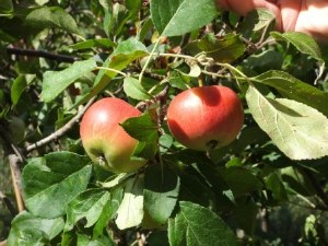Apple 'Jonagold' Bare-rooted