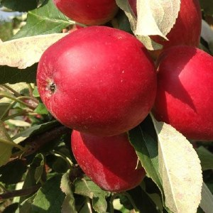 Apple 'Katy' Bare-rooted