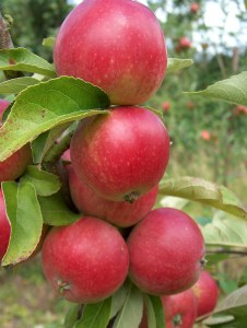 Apple 'Worchester Pearmain' Bare-rooted
