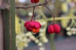 Euonymus eur Scarlet Wonder 4L