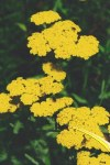 Achillea f Cloth of Gold
