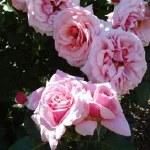 Rose Cl Aloha