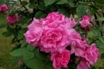 Rose Cl Bou Zephirine Drouhin