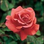 Rosa  'Fragrant Cloud'