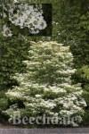 Viburnum plic Mariesii 3L