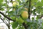Apple M26 Bramleys Seedling