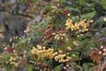 Sorbus Vilmorinii 12 1 2 S