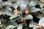 Cotoneaster franchetii BR