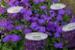 Aubrieta graecilis Kitte Blue