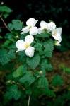 Rubus Benenden