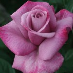 'Rosa  'Moody Blue'