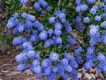 Ceanothus a Trewithen Blue