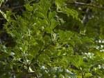 Phyllocladus tr v alpinus MALE