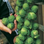 Thompson and Morgan Brussels Sprout Trafalgar F1 H