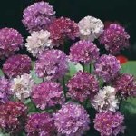 Thompson and Morgan Armeria Bees Hybrids