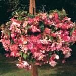 Thompson and Morgan Begonia Chanson Pink & White B