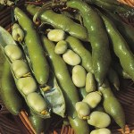 Thompson and Morgan Broad Bean The SuttonBee Friendly Plants