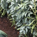 Thompson and Morgan Broad Bean WitkiemBee Friendly Plants