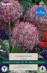Allium albopil. cristophii 5Pk