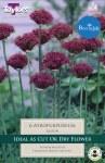 Allium atropurpureum 6Pk
