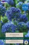 Allium Caerulum 8 Bulbs