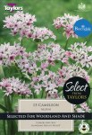 Allium Cameleon 15 Bulbs